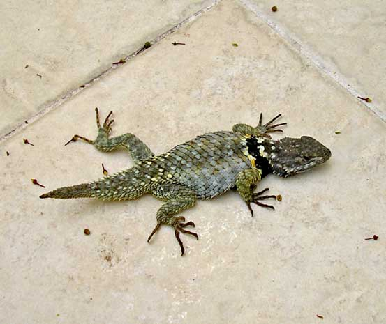 A collared lizard who dropped by for an evening on my patio. He appears to have lost his tail at some point, but it is growing back. He wasn't happy on the tile...