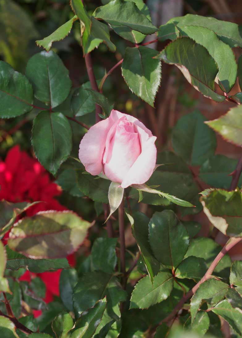 A New Year Rose from Morelia