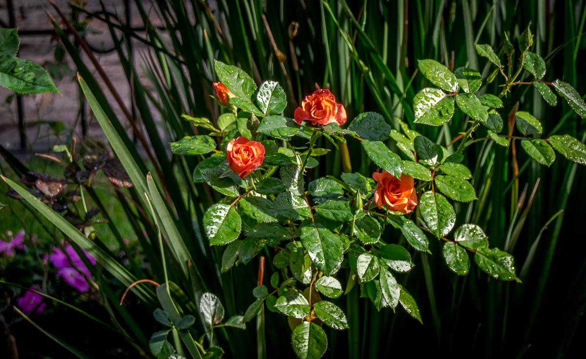 Jardin de Las Rosas, Morelia, Michoacan, Mexico